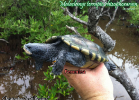 024-malaclemys-terrapin-rhizophorarum-christopher-scott-boykin
