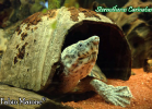 027-sternotherus-carinatus-fabio-maione