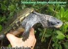 029-malaclemys-terrapin-rhizophorarum-christopher-scott-boykin