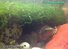 031-sternotherus-carinatus-andrea-maccari