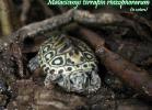 032-malaclemys-terrapin-rhizophorarum-tim-borski