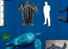 1-dermochelys-coriacea-tartapedia