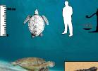 2-chelonia-mydas-tartapedia