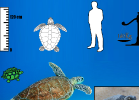 3-caretta-caretta-tartapedia