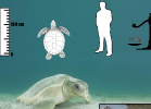 4-natator-depressus-tartapedia