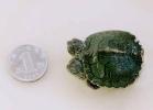 4-tartaruga-a-due-teste-cina