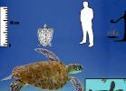 5-eretmochelys-imbricata-tartapedia