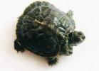 6-tartaruga-a-due-teste-cina