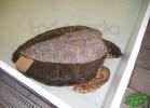 tartapedia-turtle-point-napoli-00016