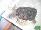 tartapedia-turtle-point-napoli-2011-033