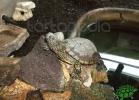 tartapedia-turtle-point-napoli-2011-036