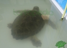 turtle-point-napoli-maggio-2013-tartapedia-002