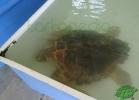 turtle-point-napoli-maggio-2013-tartapedia-003