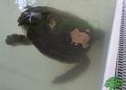 turtle-point-napoli-maggio-2013-tartapedia-004