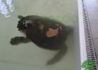 turtle-point-napoli-maggio-2013-tartapedia-005