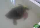 turtle-point-napoli-maggio-2013-tartapedia-006