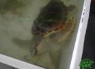 turtle-point-napoli-maggio-2013-tartapedia-008