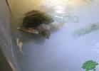 turtle-point-napoli-maggio-2013-tartapedia-011
