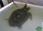 turtle-point-napoli-maggio-2013-tartapedia-014