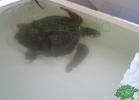 turtle-point-napoli-maggio-2013-tartapedia-015