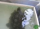 turtle-point-napoli-maggio-2013-tartapedia-016