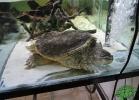 turtle-point-napoli-maggio-2013-tartapedia-022