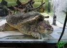turtle-point-napoli-maggio-2013-tartapedia-023