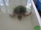turtle-point-napoli-maggio-2013-tartapedia-030