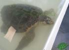 turtle-point-napoli-maggio-2013-tartapedia-031