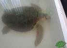 turtle-point-napoli-maggio-2013-tartapedia-032