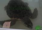 turtle-point-napoli-maggio-2013-tartapedia-034