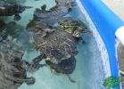 turtle-point-napoli-maggio-2013-tartapedia-037