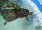 turtle-point-napoli-maggio-2013-tartapedia-038