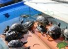 turtle-point-napoli-maggio-2013-tartapedia-039