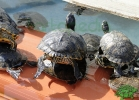 turtle-point-napoli-maggio-2013-tartapedia-040
