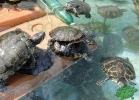 turtle-point-napoli-maggio-2013-tartapedia-041