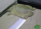 turtle-point-napoli-maggio-2013-tartapedia-055