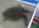 turtle-point-napoli-maggio-2013-tartapedia-058