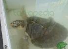 turtle-point-napoli-maggio-2013-tartapedia-059