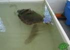 turtle-point-napoli-maggio-2013-tartapedia-060