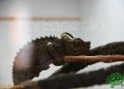 verona-reptiles-2012-fabio-minati-047
