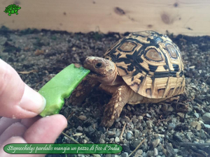 001.opuntia-fico-india-tartarughe