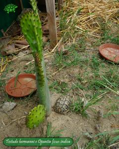 003.opuntia-fico-india-tartarughe