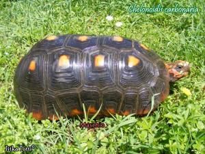 006.chelonoidis-carbonaria-jitka-totti