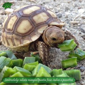 006.opuntia-fico-india-tartarughe
