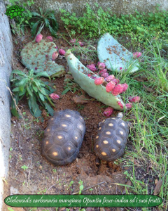 007.opuntia-fico-india-tartarughe