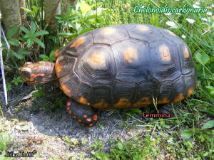 008.chelonoidis-carbonaria-jitka-totti