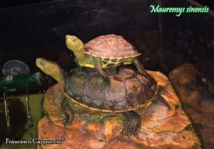 008.mauremys-sinensis-francesco-cappuccio
