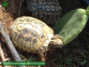 011.opuntia-fico-india-tartarughe