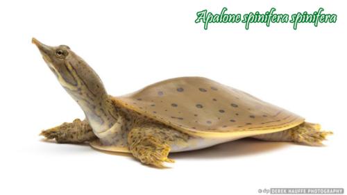 012-apalone-spinifera-derek-hauffe